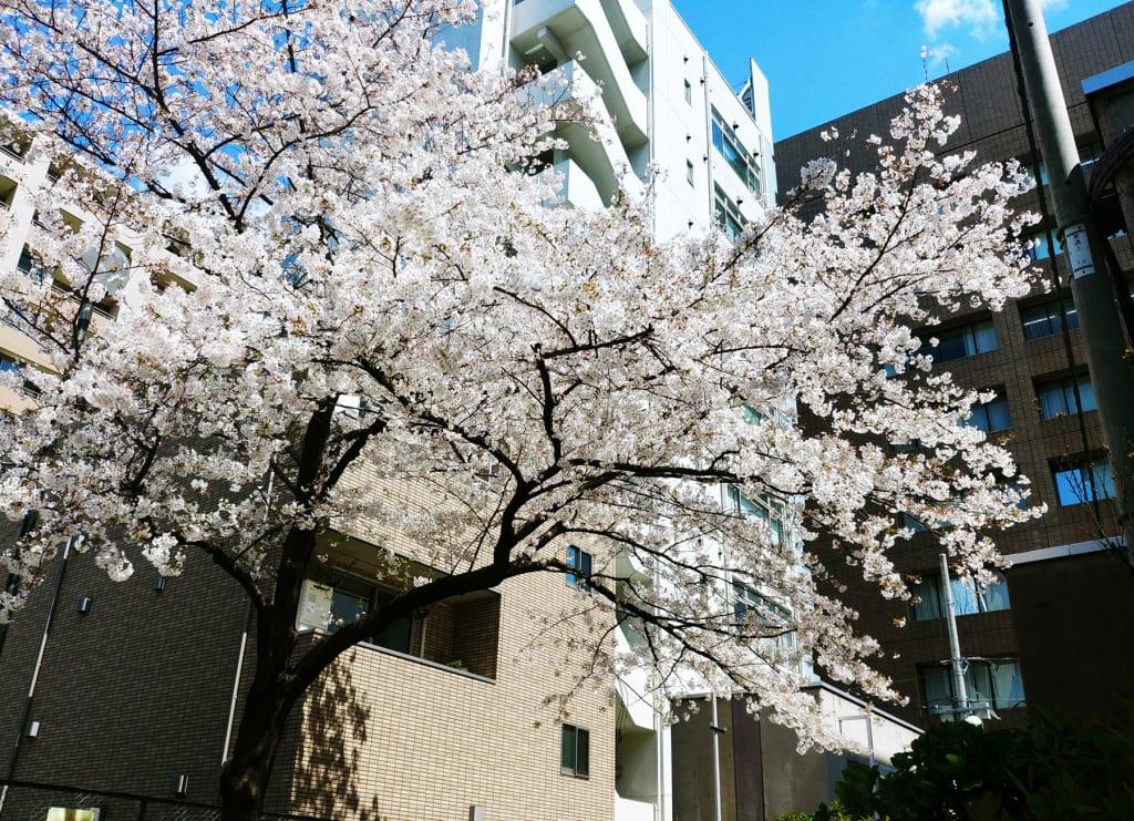 20190403_sakura_Shinokachimachi
